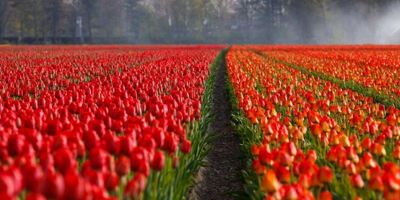 tulips-90114b7015ed91fadd1bd18eac05cbe2_800_600__pl-1